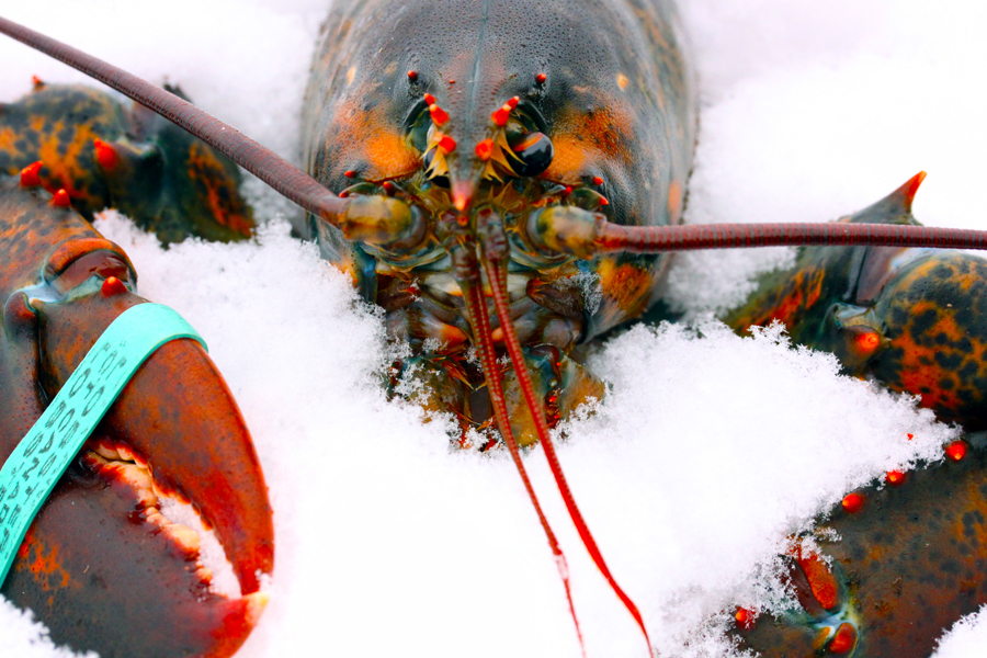 Live lobster chilling on a bed of snow :  : Christopher Davies Photography