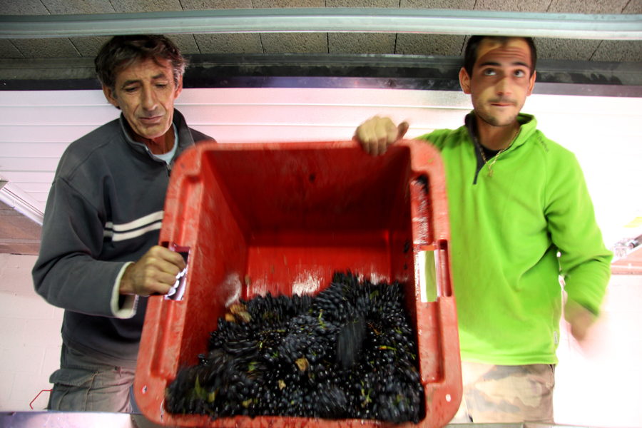 Red Grenache Harvest at Domaine La Tour Vieille AOC Collioure, France :  : Christopher Davies Photography